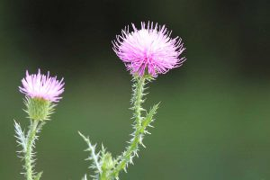 greater-burdock-997225_1920